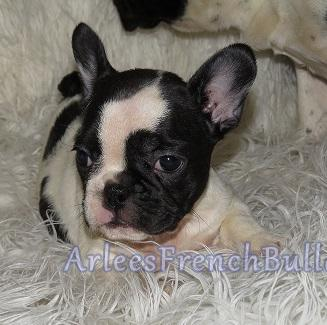 white and brindle pied french bulldog girl